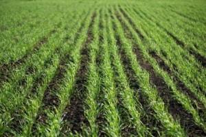 Biochar trail in green wheat seedlings