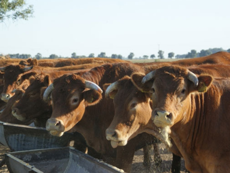 Cattle eating biochar out of trough