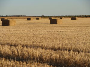 Bales of wheat in a paddock.